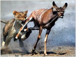lion_gazelle