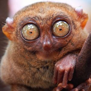 tarsier_nocturnal_animals